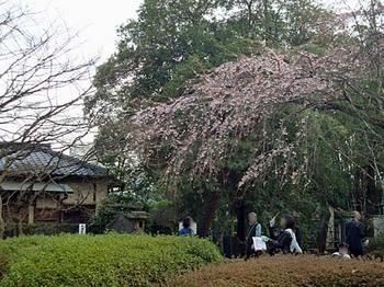 100322中院枝垂桜1.jpg
