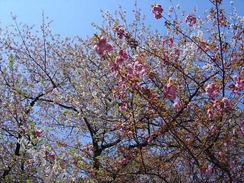 2009年4月10日靖国神社桜.jpg