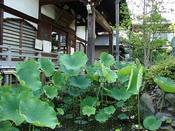 2009年6月12日長喜院古代蓮.jpg