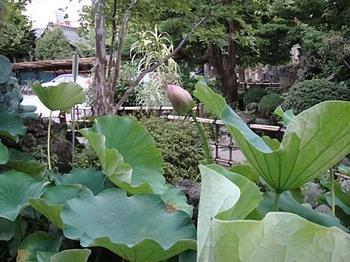 2009年7月13日長喜院古代蓮2.jpg